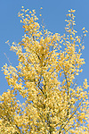 Tucson, Arizona; yellow flowers on a Palo Verde tree contrast against a blue sky, in early morning sunlight