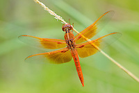 389310021 a wild male flame skimmer libellula saturata perches on a plant stem on a small plant in fort huachuca army base cochise county arizona united states