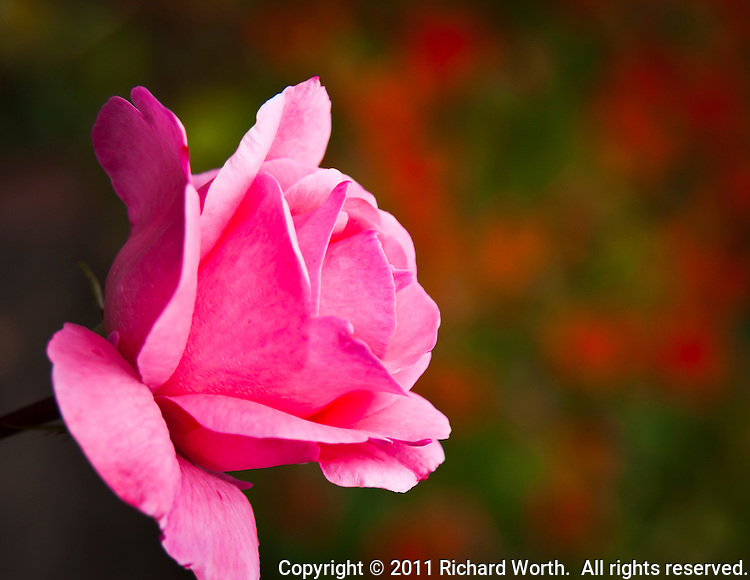A pink rose against a soft orange and green background.