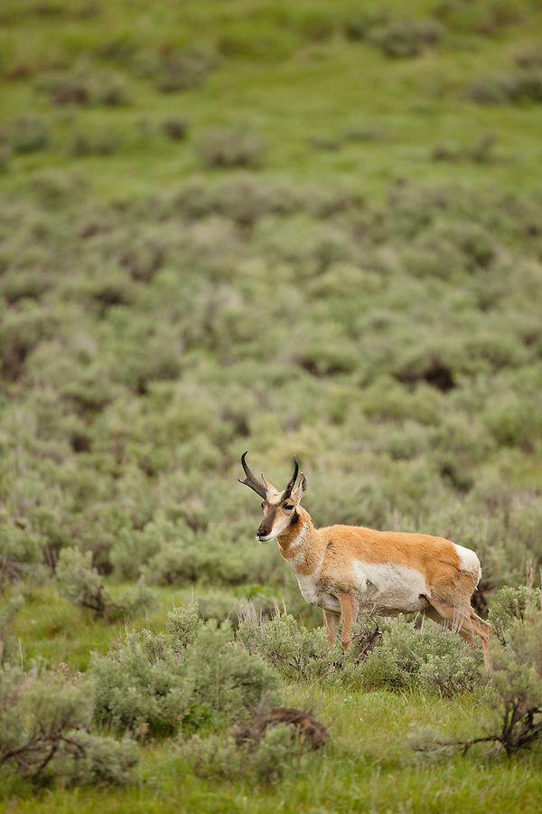 A single male pronghorn antelope stands in a grassy plain.
