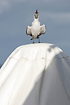 Bonaire, Netherlands Antilles; a juvenile Laughing Gull (Larus atricilla) bird stands on top of an umbrella vocalizing it's namesake call, at the Rum Runner's restaurant at Captain Don's Habitat , Copyright © Matthew Meier, matthewmeierphoto.com All Rights Reserved