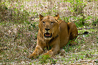 The Asiatic lion (Panthera leo persica) also known as the Indian lion, Persian lion and Eurasian lion, is a subspecies of lion. The only place in the wild where this species is found is in the Gir Forest of Gujarat, India.