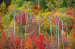 Targhee National Forest, Idaho: Hillside of red maples and aspen trees in fall color