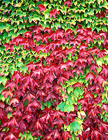 V00381M.tiff   Boston Ivy (parthenocissus triuspidata) in fall color. Corvallis, Oregon