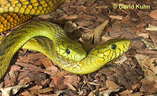 0423-1109  Mating Snakes, Pair of Western Green Mamba (West African Green Mamba) in Copulation, Dendroaspis viridis  © David Kuhn/Dwight Kuhn Photography