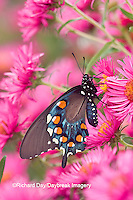03004-00807 Pipevine Swallowtail (Battus philenor) on New England Aster (Aster novae-angliae 'Alma Potschke')Marion Co.  IL