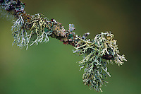 Old Man's Beard, Usnea, Lichen<br /> <br /> Copyright www.scottishhorizons.co.uk/Keith Fergus 2011 All Rights Reserved