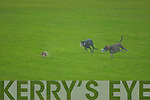 Thursday during the Tralee Coursing at Ballybeggan Racecourse.   Copyright Kerry's Eye 2008