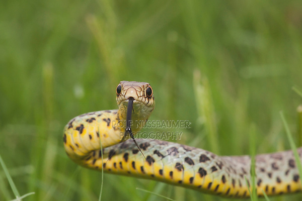 Prairie Kingsnake (Lampropeltis calligaster), young in grass, Sinton, Corpus Christi, Coastal Bend, Texas, USA