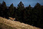 A coyote hunts the slopes of Mt. Tamalpais in Marin County, Calif., December 12, 2012.