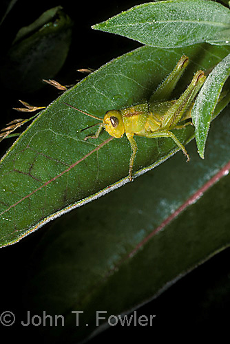 Short-horned grasshopper immature  Acrididae<br />