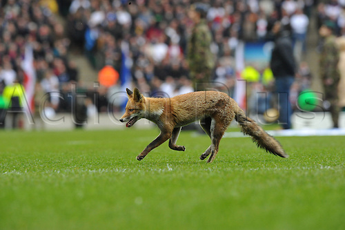 13.03.2011.  The Fox the unwanted visitor in action during the RBS Six Nations from Twickenham Stadium. England v Scotland.