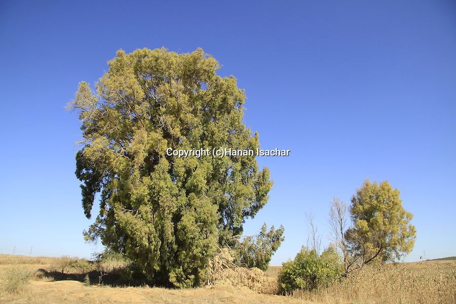 Israel, Shephelah, the big Eucalyptus tree in Nahal Haelah