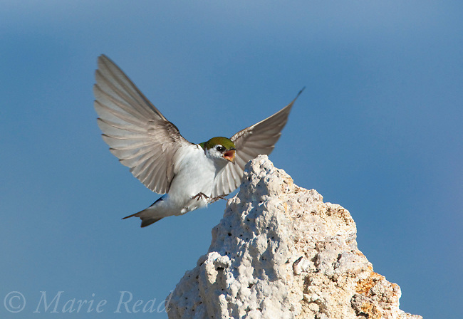 Violet-green Swallow (Tachycineta thalassina), male calling as it lands on a tufa tower, Mono Lake, California,USA
