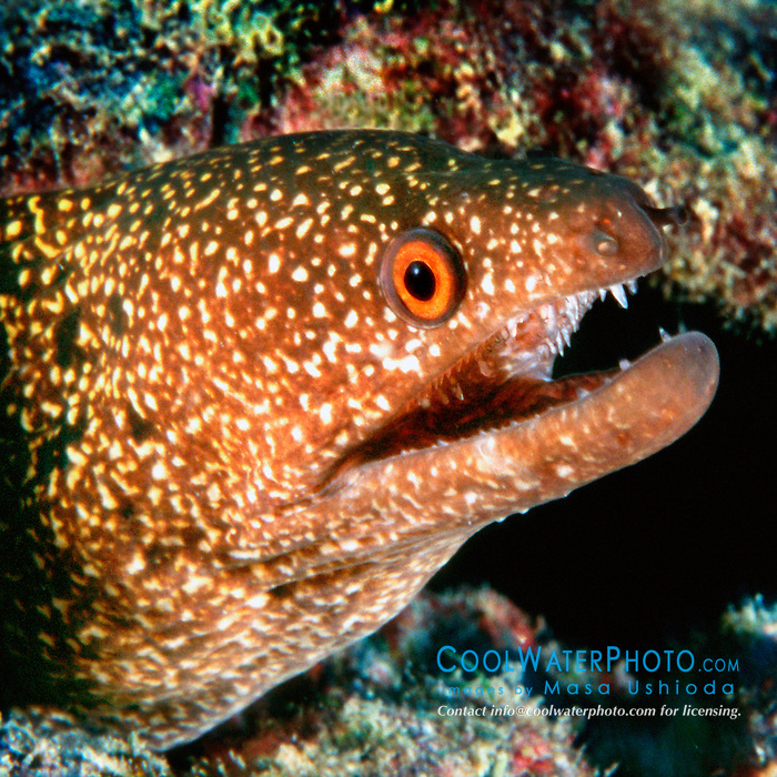 stout moray, .Gymnothorax eurostus, .Kona, Big Island, Hawaii (Pacific)