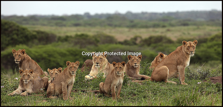 BNPS.co.uk (01202 558833).Pic: Alan Murray/BNPS..And relax... the boisterous cubs rejoin the pride to contemplate whats for breakfast...Rumble in the jungle!..Learning the law of the jungle can be tough as this no holds barred 'play' fight between young lions shows...The fray was started after two of the ferocious animals, stalked each other around the pride in the Phinda Reserve in Zululand, South Africa...They swiped at each other with their paws and rolled around on the floor, causing a commotion that woke the rest of the huge cats...Gradually, each of the lions joined in the tussle and took running leaps before pushing and hauling one another to the floor...The dramatic dust-up was was captured by amateur photographer Alan Murray, who was watching the group from the safety of a van...The pride of three lionesses and six youngsters surrounded his vehicle for about an hour in the scrap before they moved on to a nearby watering hole.