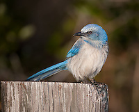 Bright Blue Florida Scrub Jay perched on a wooden post in Florida