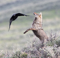 This coyote crossed the road to hunt for ground squirrels before ravens swooped in to try and steal its meal. Here, it's leaped to the air to try and chase off the first raven as the second bird approaches.