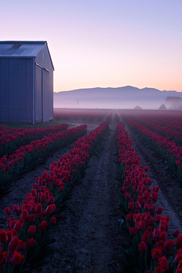 Barn and rows of red tulips in early morning, Mount Vernon, Skagit Valley, Skagit County, Washington, USA