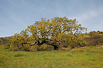 California wildflower travel: Oak tree leafing out in spring on Tesla Road south of Livermore..Photo copyright Lee Foster.  Photo # cawild102140