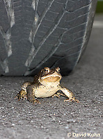 0304-0912  American Toad Crossing Paved Road Under Car and Tires During Rain Event in Spring,  © David Kuhn/Dwight Kuhn, Anaxyrus americanus, formerly Bufo americanus Photography