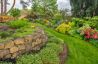 Vashon-Maury Island, WA: Spring perennial garden in late evening light with rhododendrons, spireas, pieris, catmint and sedums