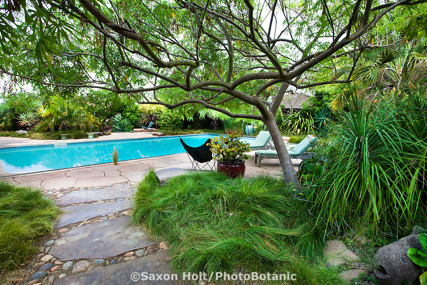 Stepping stone path under Manihot esculenta, Tapioca (Cassava, manioc) tree leading to swimming pool in Sherry Merciari garden