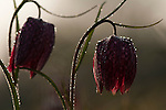 Snake's head fritillary, Fritillaria meleagris, covered in water drops from melting frost in traditional hay meadow. Clattinger Farm, Wiltshire. UK. This habitat has been reduced by 98% in the UK since the Second World War. This is largely due to the intensification of farming practices.