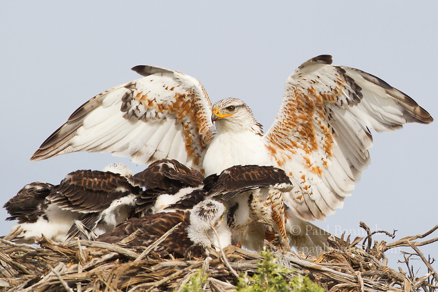 A male Ferruginous Hawk delivers food to voracious young waiting at the nest.