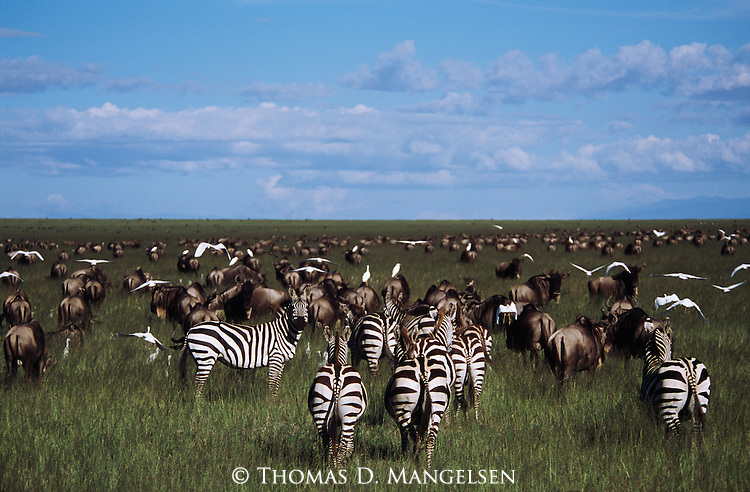Herds of Burchell's zebra and blue wildebeest graze on the African plain.