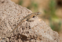 442000007 a wild male nevada side-blotched lizard uta stansburiana nevadensis perches on a rock ear eureka dunes inyo county california united states