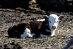 Young calf loafing