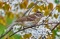Female Rose-breasted Grosbeak (Pheucticus ludovicianus) in serviceberry bush.  Great Lakes Region, May.