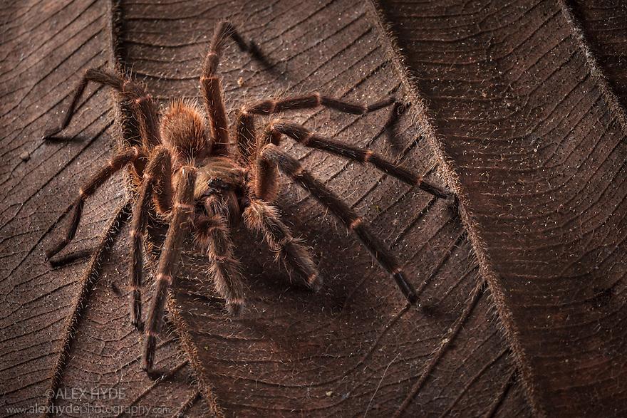 Huge earth tiger tarantula (probably Cyriopagopus sp.), Maliau Basin, Sabah, Borneo, Malaysia.