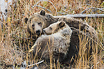 Grizzly bear sow and cub. Yellowstone National Park, Wyoming.
