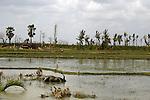 A Buffalo lies dead after Cyclone Nargis hits Irrawaddy Division, May 10, 2008. Despairing survivors in Myanmar awaited emergency relief on Friday, a week after 100,000 people were feared killed as the cyclone roared across the farms and villages of the low-lying Irrawaddy delta region. The storm is the most devastating one to hit Asia since 1991, when 143,000 people were killed in neighboring Bangladesh. Photo by Eyal Warshavsky  *** Local Caption *** ëì äæëåéåú ùîåøåú ìàéì åøùáñ÷é àéï ìòùåú áúîåðåú ùéîåù ììà àéùåø
