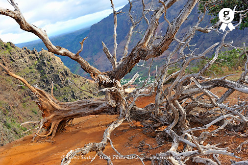 Dead tree in Waimea canyon, Kaui island, Usa (Licence this image exclusively with Getty: http://www.gettyimages.com/detail/85985774 )