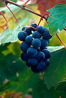 Vineyard grapes, California