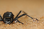 Fog Basking Beetle or Darkling Beetle (Onymacris unguicularis) drinking from water drops collected on its legs, Namib Desert, Namibia