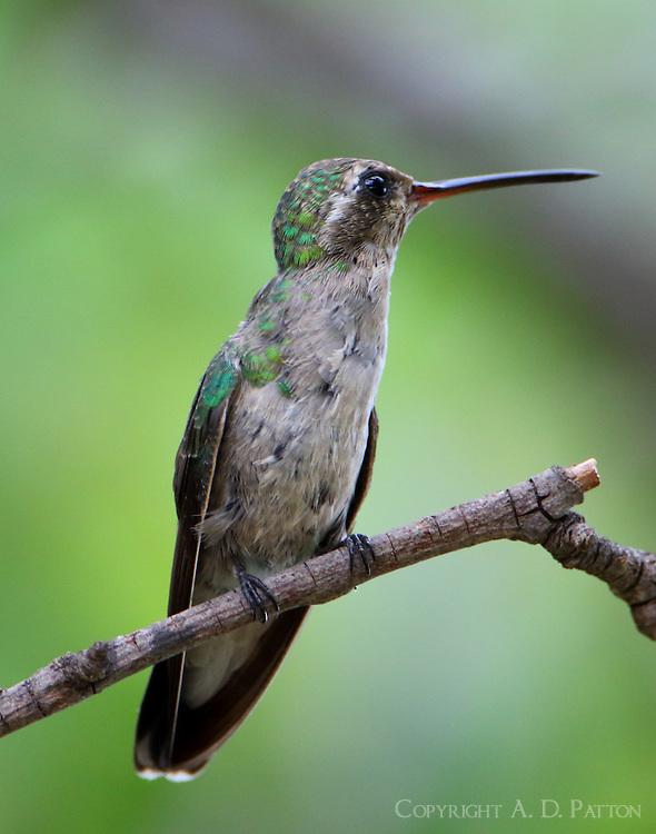 Juvenile broad-billed hummingbird