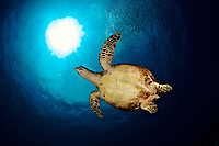 A hawksbill turtle ( Eretmochelys imbricata ) swimming around the Similan Islands, Andaman Sea, Thailand