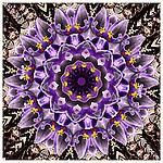 Mandala made from purple crocuses.