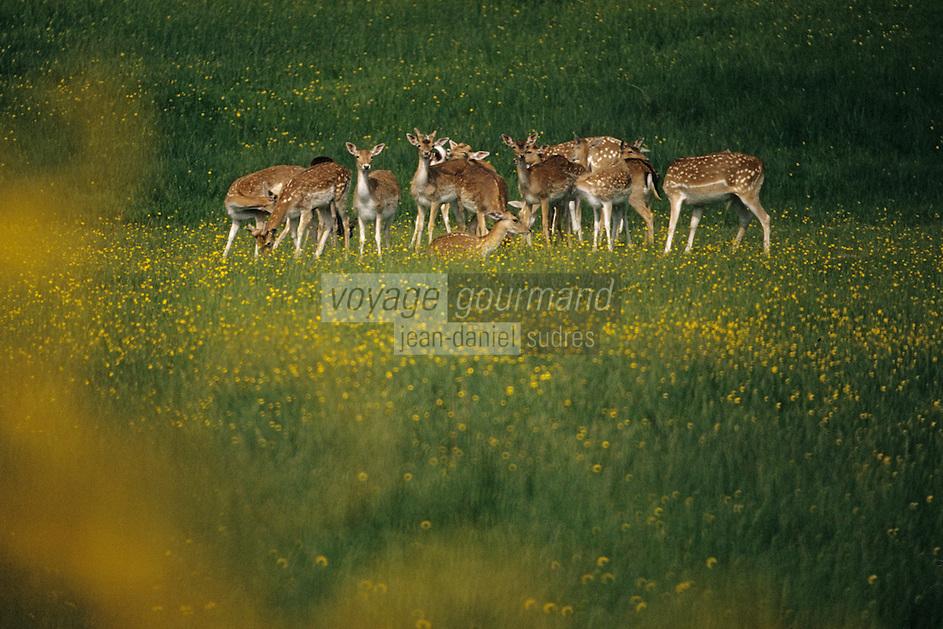 Europe/France/Limousin/23/Creuse/Env Aubusson: Daims dans le parc du chateau de Saint-Maixant