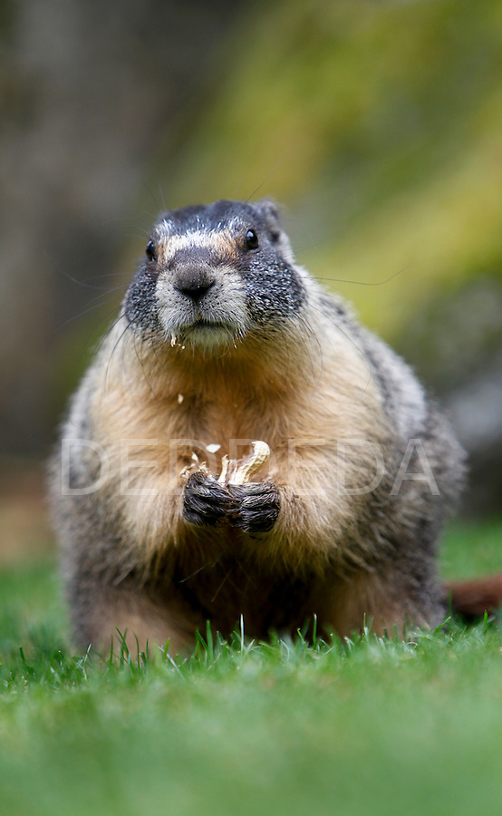 A friendly yellow-bellied marmot eats a peanut on the grounds of the Fairmont Empress Hotel in Victoria. The marmot, known locally as Roger or Marmie, may be evicted from the Fairmont Empress Hotel garden, and sent home to mainland British Columbia, courtesy of B.C.'s Environment Minister Barry Penner. Yellow-bellied marmots are native to southeastern British Columbia, not Vancouver Island. Photo assignment for the Globe and Mail national newspaper in Canada.