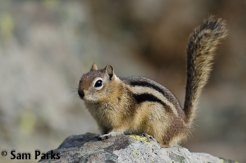 Golden-mantled ground squirrel. Yellowstone National Park, Wyoming.