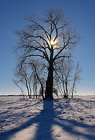 Cottonwood at sunrise in winter during polar vortex.<br /> <br /> Manitoba<br /> Canada