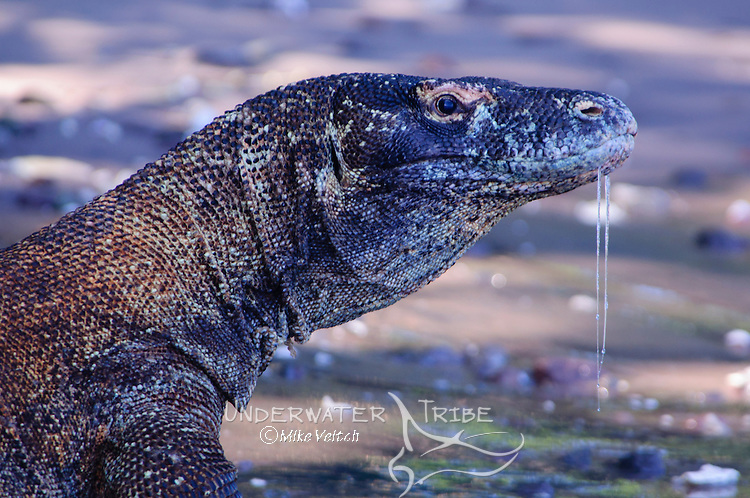 A Komodo Dragon with drool running down its chin stands at the waters edge, Varanus komodoensis, Rinca Island, Komodo National Park, Indonesia