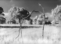 Infrared Black and White film image of a coastal prairie in NorthEast Florida along the Matanzas river south of St. Augustine.