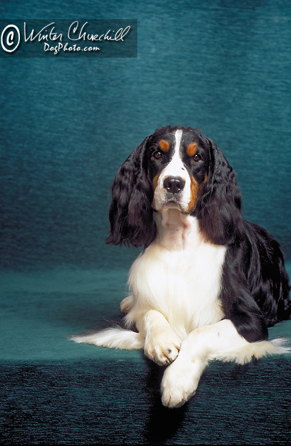 english springer spaniel Shopping cart has 3 Tabs:<br /> <br /> 1) Rights-Managed downloads for Commercial Use<br /> <br /> 2) Print sizes from wallet to 20x30<br /> <br /> 3) Merchandise items like T-shirts and refrigerator magnets