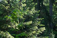 Maiwipfel, Maiwipferl, Fichtensprosse, Fichtenspitzen, Fichtensprossen, Fichte, Fichten, Gewöhnliche Fichte, Rot-Fichte, Rotfichte, Picea abies, Spruce, Common Spruce, Norway spruce, L'Épicéa, Épicéa commun